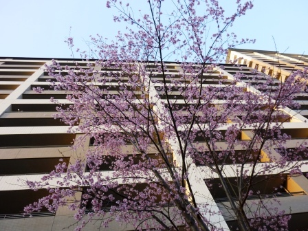 研究学園でも桜が咲きました!