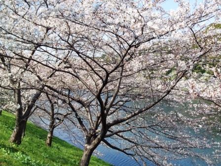 桜田濠の桜が満開です!