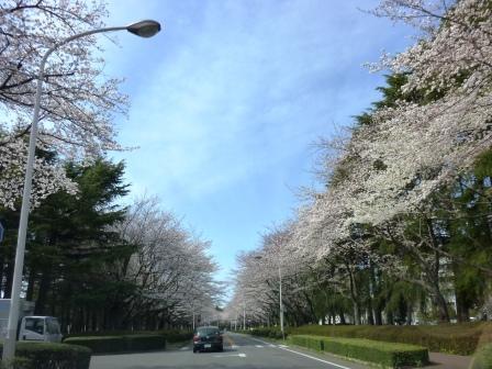 2013年春 農林団地の桜が満開です!