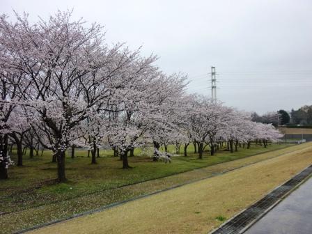 2013年春 科学万博記念公園の桜を見てきました!