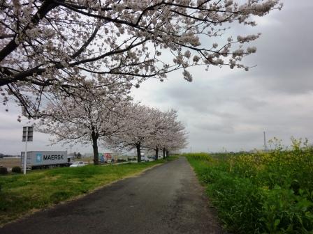 2013年春 水海道ロードパークの桜も満開です!