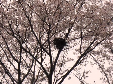 2013年春 (仮称)葛城1号近隣公園の桜!