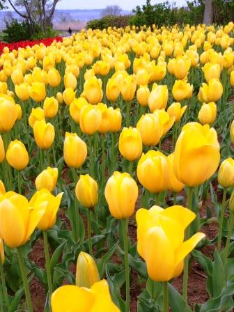 霞ケ浦総合公園で3万本のチューリップが見頃です!