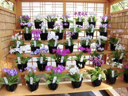 筑波実験植物園の「さくらそう展」!