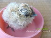 烏骨鶏のひよこが孵りました! 2012/05/24 09:26:25