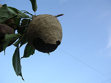 ハチの巣 全体