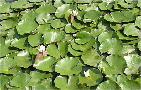 柏原公園 夏の池