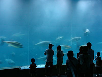 東京都水族館 マグロの回遊