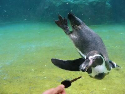 東京都水族館 フンボルトペンギン