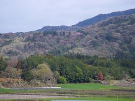 桜川の山桜