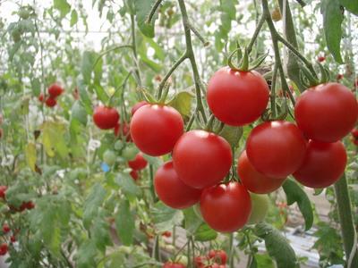 わくわく散歩《先乗り編》〜トマト好きにはたまらない!!〜