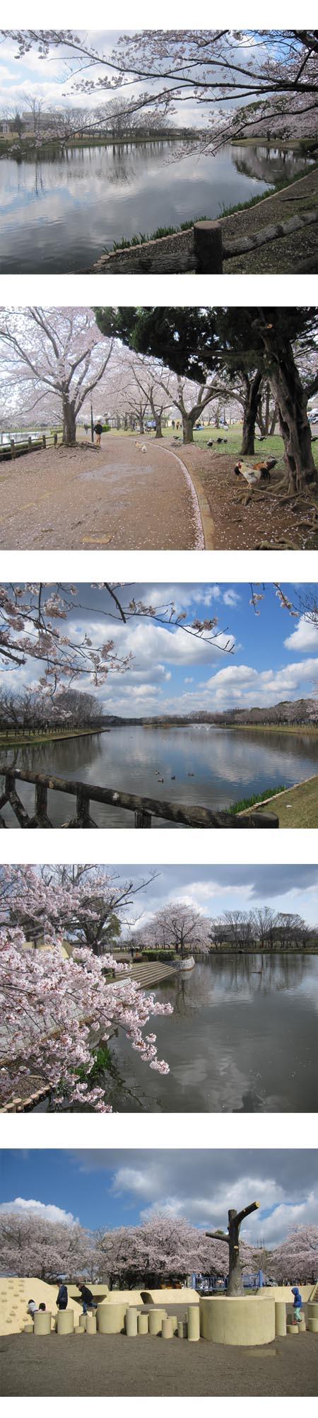 乙沼公園の桜