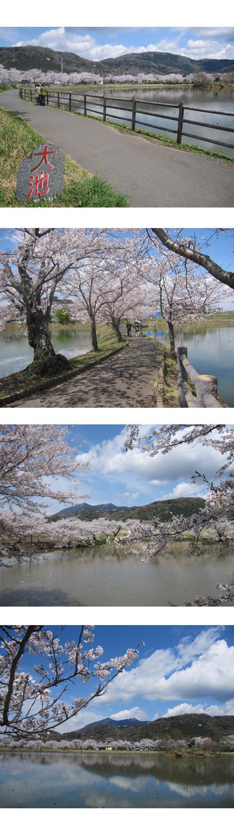北条大池の桜