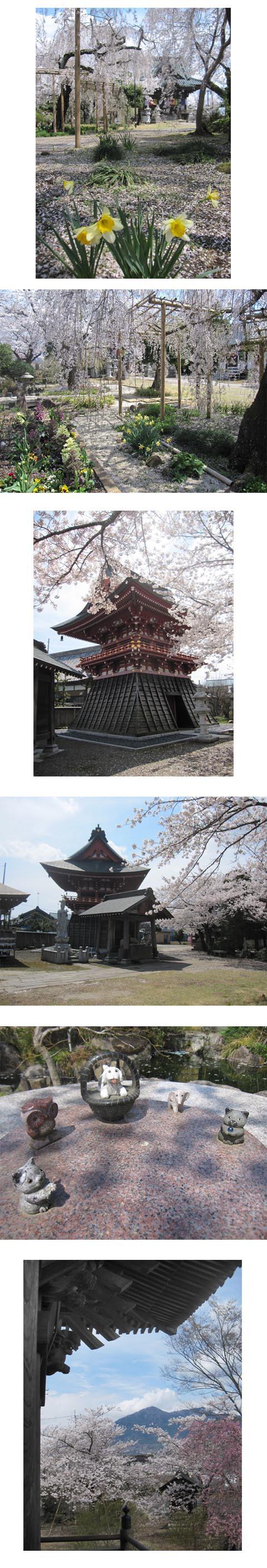 泉子育て観音の桜