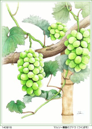 「マルソー農園」のブドウ色