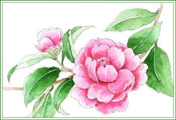 サザンカ ピンク