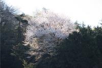 山桜☆本日の雨巻山の様子