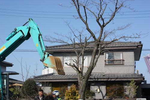 桜の木の伐採!!