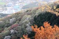 山桜が見ごろを向かえ