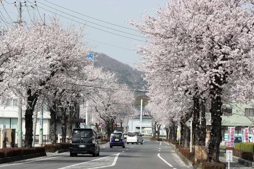 桜がキレイ!