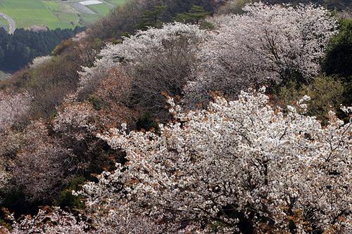 厳冬の山桜の里☆平沢地区高峰山
