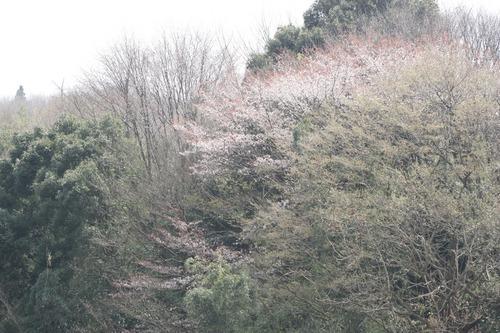 山桜開花迫るッ☆