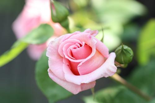 薔薇が咲いた♪
