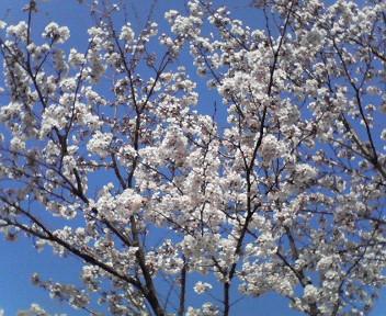 家の前の桜が満開に♪