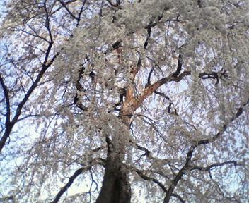 天然記念物 糸桜が満開です