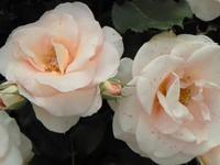 フラワーパークの薔薇の香りにうっとり♪