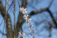桜川磯部稲村神社の山桜☆開花情報