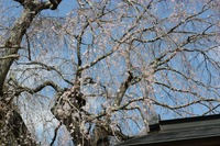 胴源寺「枝垂れ桜」☆踊正太郎三味線ライブ
