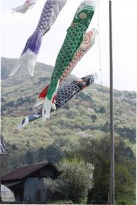 山桜を泳ぐ鯉のぼり☆桜川市