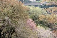 山桜☆本日の高峯山