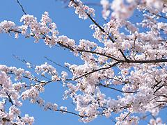春はお花見の季節ですね