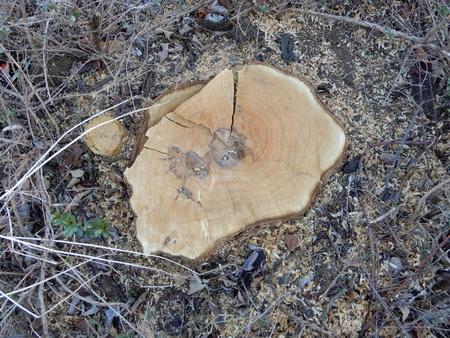 とりせん横の街路樹が伐られてしまったのは何故??