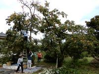 干し柿づくりのため八坂神社近くで柿もぎをしました!