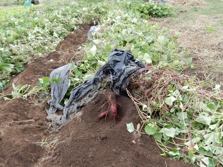 【イモ掘り募集】グリーネックレスの畑のイモ掘りを行います!