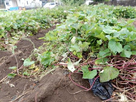 【イモ掘り募集】10/22に研究学園グリーネックレスの畑の芋掘りをします。