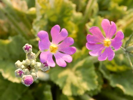 美酒堂前の花壇に可愛らしいピンクの花が咲いた!
