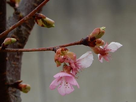 研究学園の公園に千本桜を植樹しました!