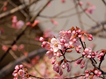 研究学園駅チカの桜が咲いた!