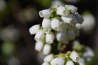 ブルーベリーの可愛らしい花が鈴なりに咲いた!