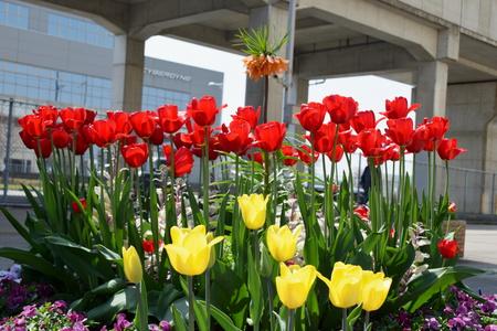 【研究学園のチューリップ4】駅前花壇で赤と黄色の協演が見られた!