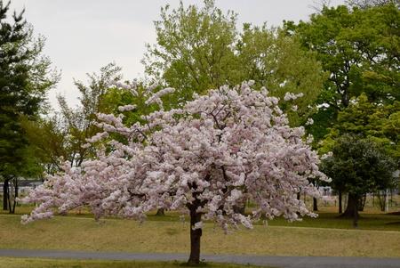【研究学園の桜6】とってもゴージャス、研究学園の八重桜!