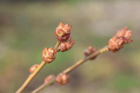 ブルーベリーの花芽が膨らんできた!