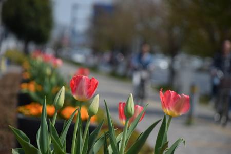 【研究学園のチューリップ3】イーアスの花壇がすごくきれい!
