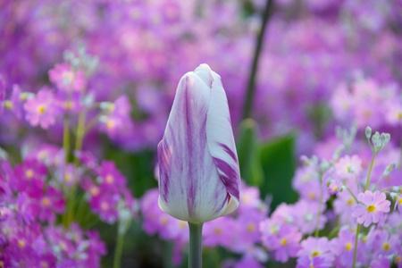 【研究学園のチューリップ2】美酒堂前歩道花壇が華やかに!