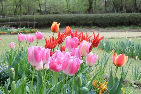 【研究学園のチューリップ5】研究学園間近に秘密の花園が!