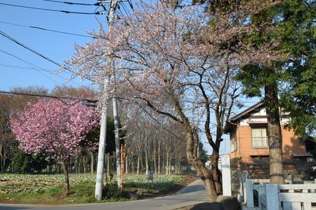 【研究学園の桜3】満開の桜が続々と!!